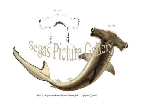 Fine art print of the Common hammerhead or hammer fish